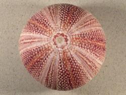 Echinus esculentus 11,7cm *Unikat*