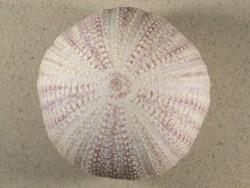Echinus esculentus 10,7cm *Unikat*