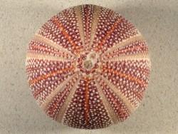 Echinus esculentus 11,5cm *Unikat*