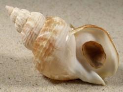 Buccinum undatum m/O DK-North Sea 7,8cm *unique*