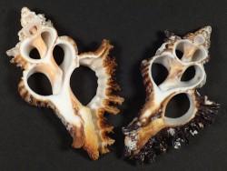 Chicoreus brunneus center cut