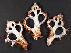 Hexaplex cichoreum Gehäuseschnitt klein