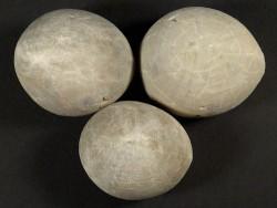 Echinocorys vulgaris Kreide ES 3,5+cm