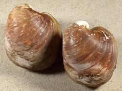 Glossus humanus HR 6,5+cm