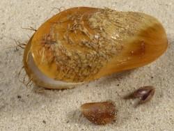 Modiolus modiolus DK-Nordsee juvenil Größenset (x3) 0,9+cm *Unikat*