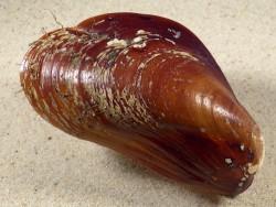 Modiolus modiolus juvenil DK-Nordsee 9cm *Unikat*