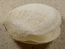 Scutarcopagia scobinata EG 6,3cm *Unikat*