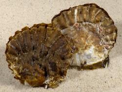 Alectryonella plicatula PH 6+cm *dunkel*
