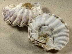 Alectryonella plicatula PH 6,8+cm *hell*