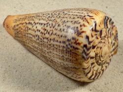 Conus suratensis m/O PH 10,8cm *Unikat*