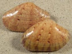 Paphia semirugata PH 5+cm