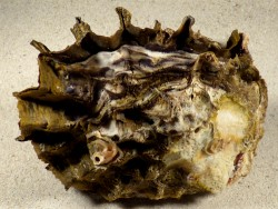 Hyotissa hyotis PH 13cm *Unikat*