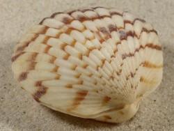 Tucetona pectunculus PH 5,3cm *Unikat*