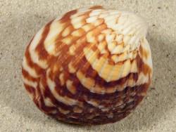 Tucetona amboinensis PH 5cm *Unikat*