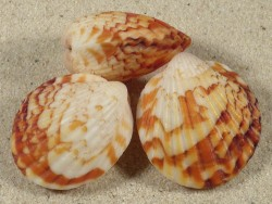 Tucetona amboinensis PH 3,5+cm