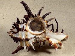 Hexaplex cichoreum w/o PH 11,3cm *unique*