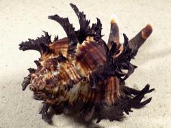 Hexaplex cichoreum *dunkel* m/O PH 11,4cm *Unikat*