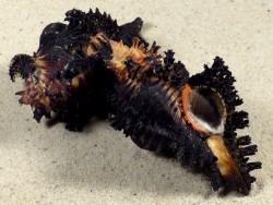 Chicoreus brunneus m/O PH 7+cm