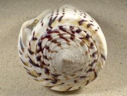 Conus leopardus m/O PH 14,5cm *Unikat*