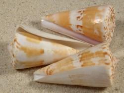 Conus voluminalis PH 5,5+cm