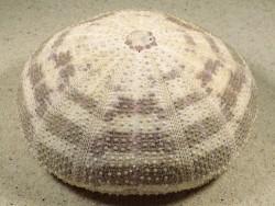 Toxopneustes pileolus PH 11,2cm *Unikat*