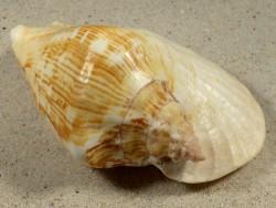 Sinustrombus latissimus m/O PH 11,2cm *Unikat*