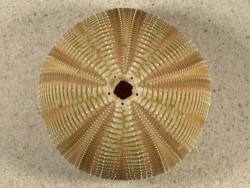 Salmacis bicolor PH 8,1cm *unique*
