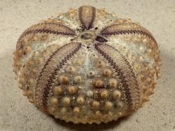 Echinothrix calamaris PH 7,9cm *Unikat*