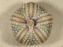 Echinothrix calamaris PH 7,8cm *unique*