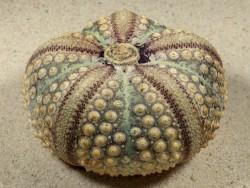 Echinothrix calamaris PH 7,8cm *Unikat*