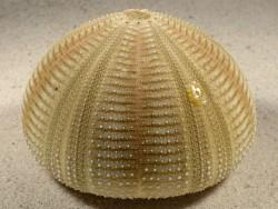 Salmacis bicolor PH 8,5cm *Unikat*