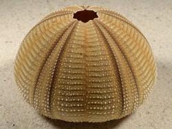 Salmacis bicolor PH 8,2cm *Unikat*