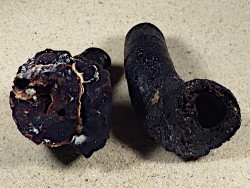 Thylacodes colubrinus m/O PH 8+cm