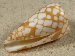 Conus cordigera PH 4,1cm *Unikat*