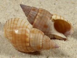 Nassarius glans TZ 3+cm