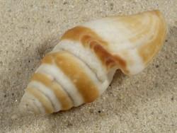 Bathytoma boholica PH 6cm *Unikat*
