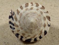Conus ebraeus PH 5cm *Unikat*