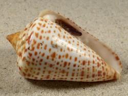 Conus spurius m/O US 6,7cm *Unikat*