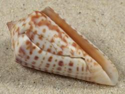 Conus regularis MX 4,2cm *Unikat*