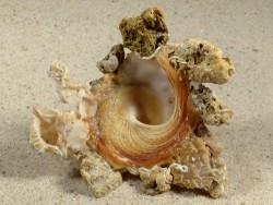 Xenophora cerea PH 8,1cm *Unikat*