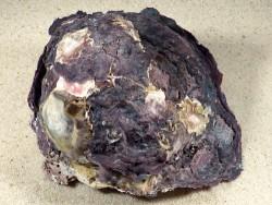 Hyotissa sinensis Cluster PH 13,7cm *Unikat*