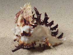 Hexaplex cichoreum mit Spondylus echinatus PH 6,8cm *Unikat*
