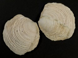 Linga pensylvanica Pliozän US 6,5cm *Unikat*