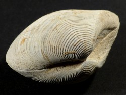 Kalolophus speciosus Pliozän US 6cm *Unikat*
