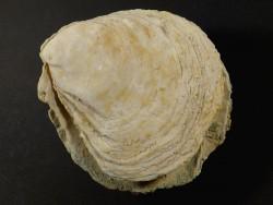 Ostrea edulis Pliozän ES 10,5cm *Unikat*