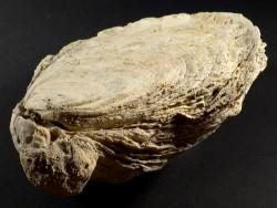 Ostrea edulis Pliozän ES 14,7cm *Unikat*