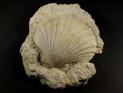 Flabellipecten planomedius Pliozän MA 11,5cm *Unikat*