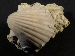 Pecten josslingi Miozän PT 3,5cm *Unikat*
