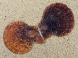 Laevichlamys squamosa PH 4,5+cm