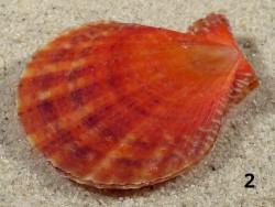 Laevichlamys squamosa *rot* PH 4,2+cm